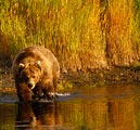 A grizzly bear prowls the shallows for fish on the Katmai Peninsula.