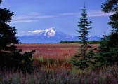 The fireweed was in full bloom with Mt Redoubt in the distance.