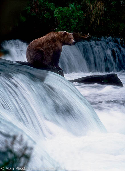 This grizzly was patiently awaiting lunch at this popular waterfall on the Katmai Peninsula.