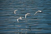 These four gulls were flying by our boat and created a real challenge to capture them and the water in focus.
