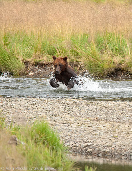 This grizzly kept running up and down Pack Creek in a very playful mood almost seeming more interested in splashing about rather than catching lunch.