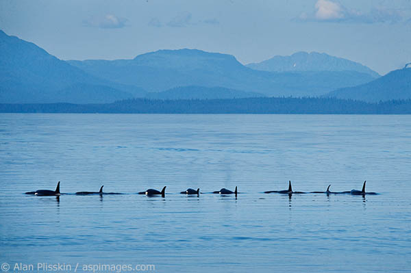 At one point these eight orcas were in a line as they were swimming through Frederick Sound. Fortunately, for the sea lions, there were none around.