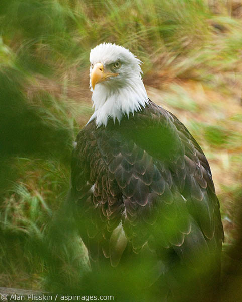 This bald eagle at Pack Creek was posing for us on a log about 10 feet away. I felt that shooting it unobstructed was somewhat boring, so I found a tree branch to shot through and it added whole new dimension.
