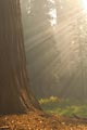Filtered foggy morning lightbeams shine on a sequoia tree.