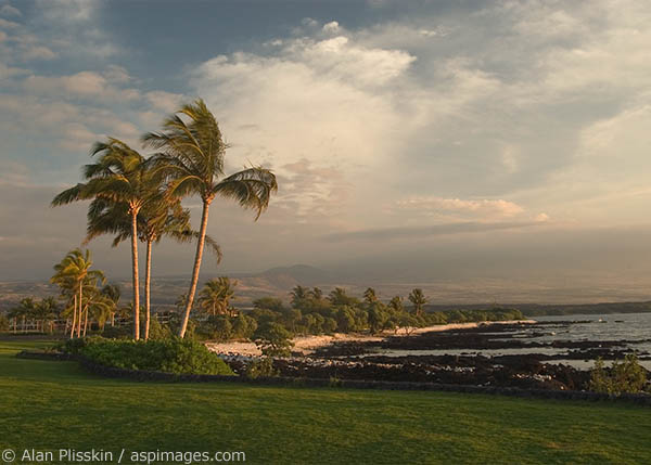 Palm trees sway in the late afternoon breeze on the Big Island of Hawaii.