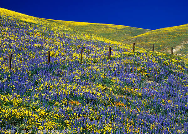 Hillsides are often covered with wildflowers in central California in the Spring.