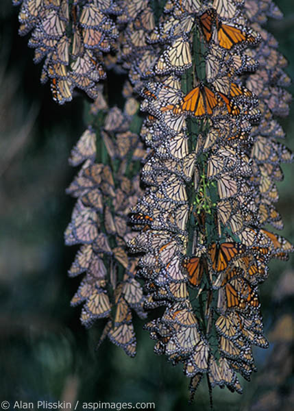 Monarch butterflies rest in large groups during their annual migration near Santa Cruz.