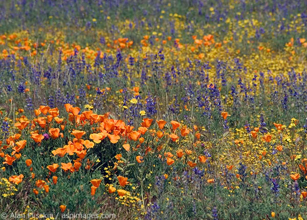 California Poppies bloom in the Carrizo Plain in Springtime.