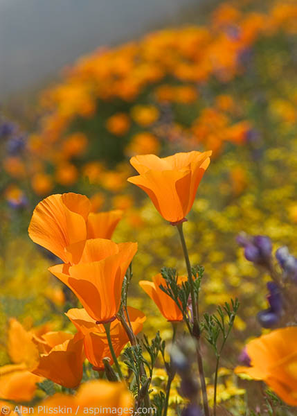 A California Poppy. These bright orange blooms are the California state flower.