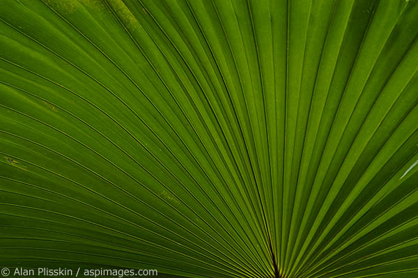 Expanding pattern of Fan Palm.
