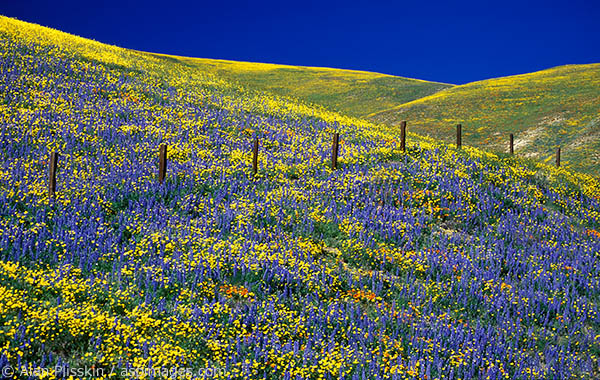 Lupine were blooming aplenty in this field in Central California.