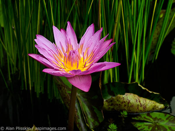 Pink water lily captured in Kauai.