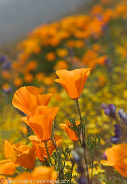 Poppies are the California state flower.