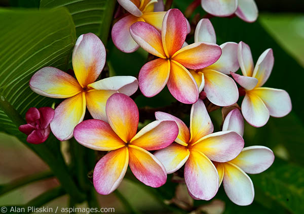 I found this rainbow plumeria in a garden in Kauai.