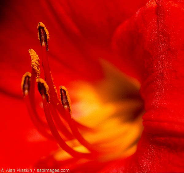 Closeup of a red flower in full bloom.