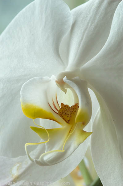 Closeup of a white orchid.