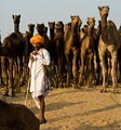 A man with his herd of camels at the Pushkar Camel Festival.