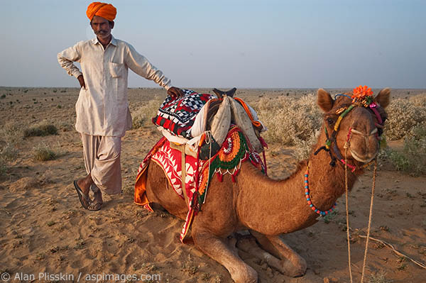 The camel and camel guide take a short break during a camel ride.