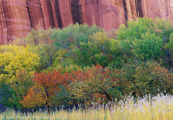 With the vegetation starting to change colors, the sandstone wall in the background added a graphic compliment to this row of bushes and trees in Capital Reef National Park.