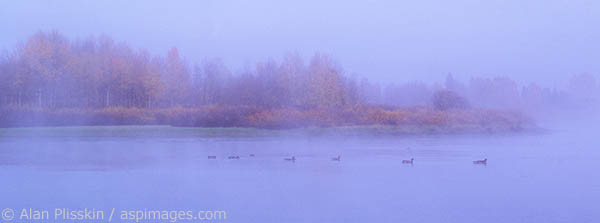 These geese were out for an early morning swim in Grand Teton National Park.