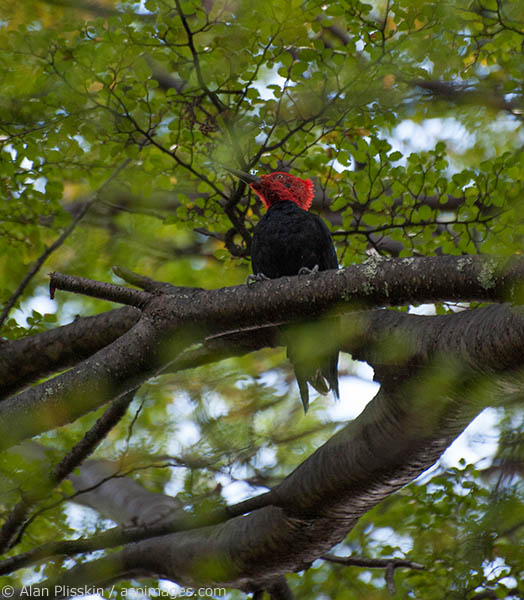 This male Magellanic Woodpecker flirted around the trees along the path to Charrillo del Salto Waterfall.  It remained somewhat elusive but every once in a while he would land where we could get an unobstructed view of him.