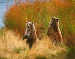 Two juvenille grizzlies were looking for their mother who had gone off fishing.