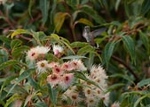 Hummingbird wings beat extremely fast. It took a shutter speed of 1/2000 of a second to freeze this Broad-Tailed hummingbird hovering over the eucaluptus flowers.