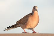 This dove was seemed to glow in late afternoon light on Kauai.