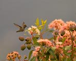Hummingbird feeding on Eucalyptus tree in Northern California.