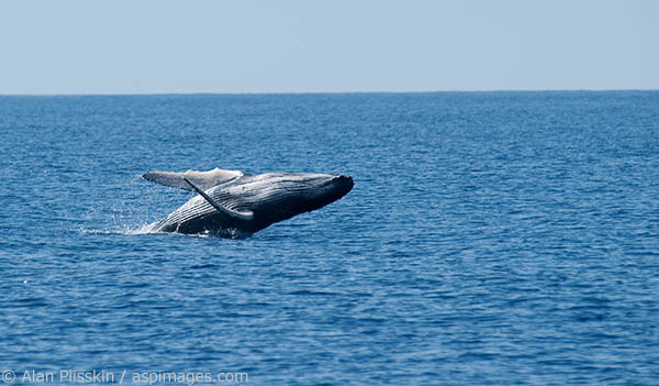 This young humpback whale was practicing it breaching.