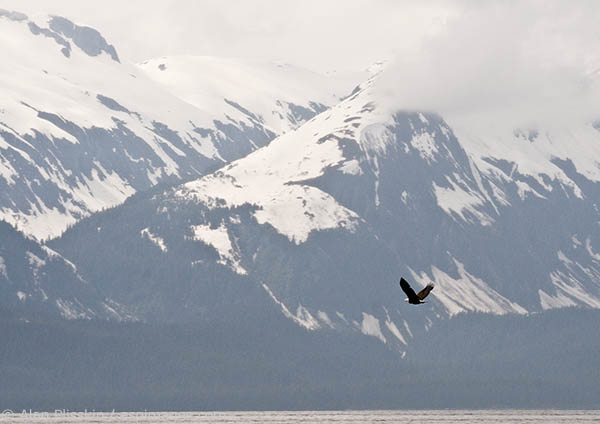 On an overcast day along the Alaska coast, this eagle appeared to be on a mission.