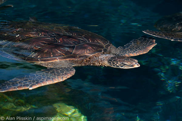 Green Sea Turtles are plentiful in the Hawaiian Islands.