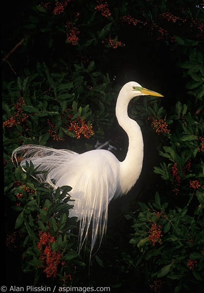 This snowy egret seemed to pose for its picture.