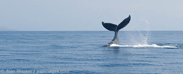 This humpback whale did multiple tail slaps to either attract or discourage another whale.